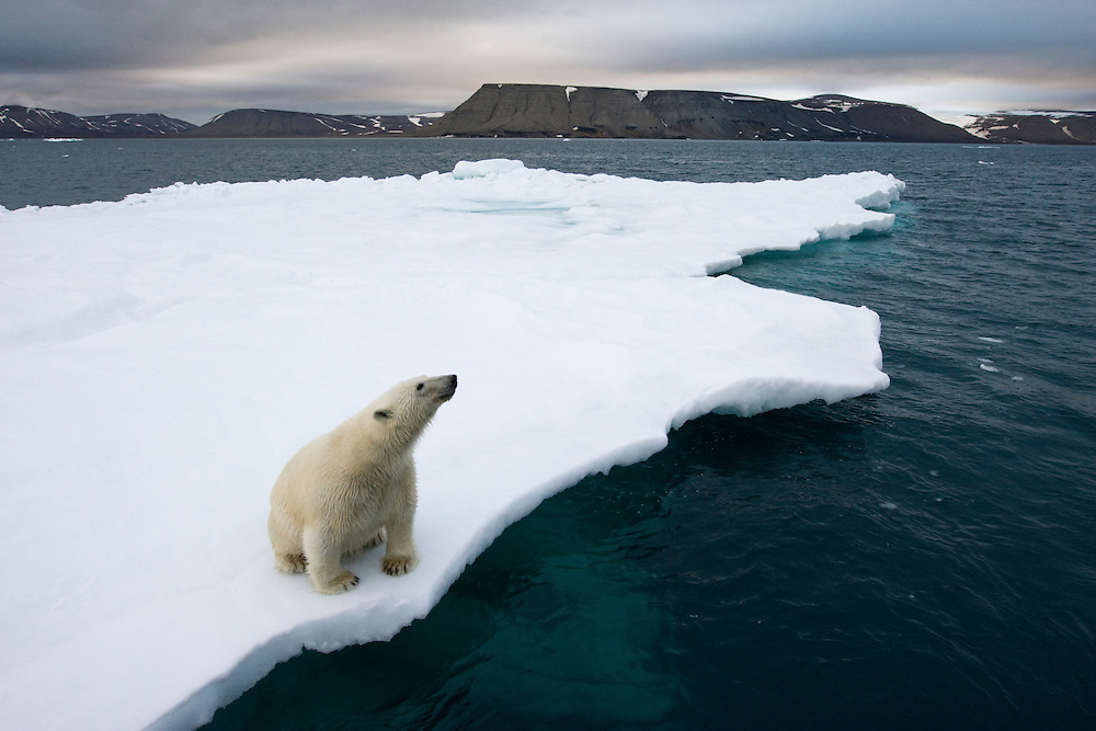 Norway, Svalbard, Polar Bear (Ursus maritimus) sitting on melting iceberg near Half Moon Island on summer evening