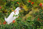 Snowy Egret at the San Diego Safari Park (a park freeloader)