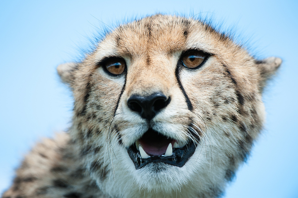 Cheetah (Acinonyx jubatus) portrait