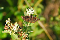Horace's duskywing on a summer afternoon in the Babcock-Webb Wildlife Management Area in Charlotte County, Florida.