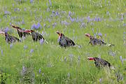 Merriam Wild Turkeys in Field of Lupines