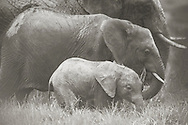 Elephant family grazing, Ol Pejeta Conservancy, Kenya