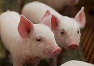 Young pigs in a farrowing building at Grandview Farms in Eldridge, Iowa on Thursday August 9, 2012.
