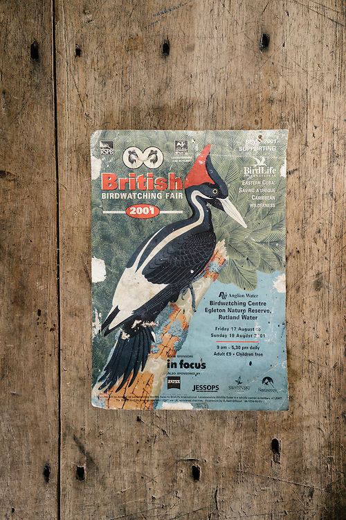 A old poster for a British birdwatching fair which was on the wall in resident's home in Farrallones, Eastern Cuba, features the ivory-billed woodpecker, now thought to be extinct on Jan 25, 2016.