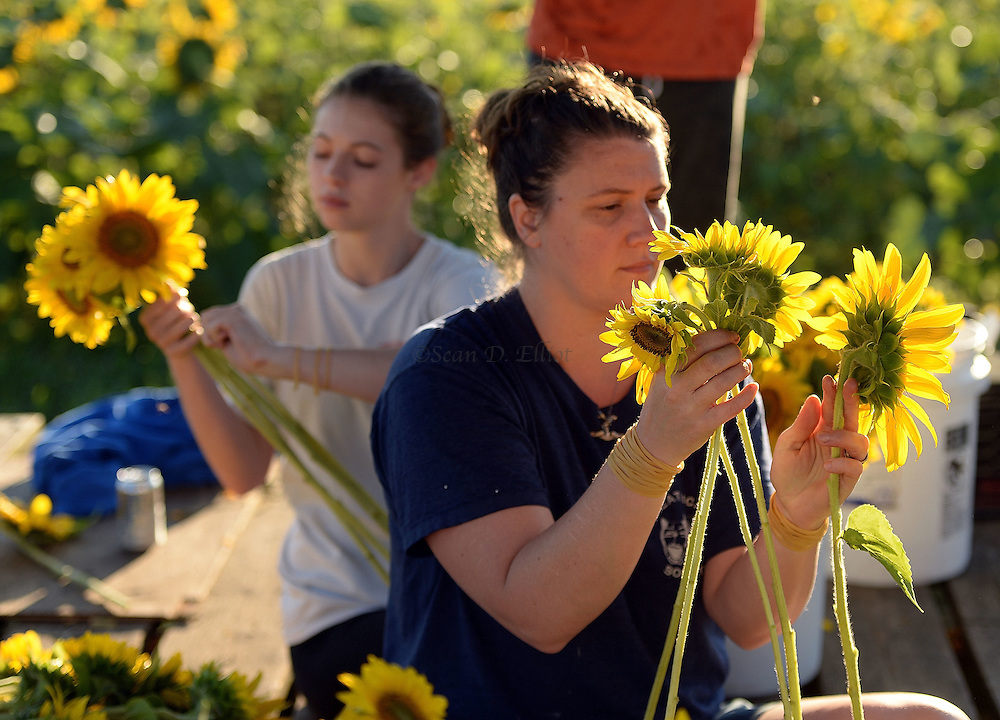 7/28/16 :: REGION :: STAND ALONE :: Volunteers Teia Powell, right, and her daughter Autumn, bundle harvested sunflowers into bouquets at Buttonwood Farm in Griswold Thursday, July 28, 2016 for the farm's 13th annuals Sunflowers for Wishes fundraiser. A bouquet of sunflowers can be had for a $10 donation to the Make-A-Wish Foundation during the event which runs through this weekend. The event has raised over $1 million since it began.  (Sean D. Elliot/The Day)