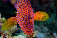 Coral Cod Portrait