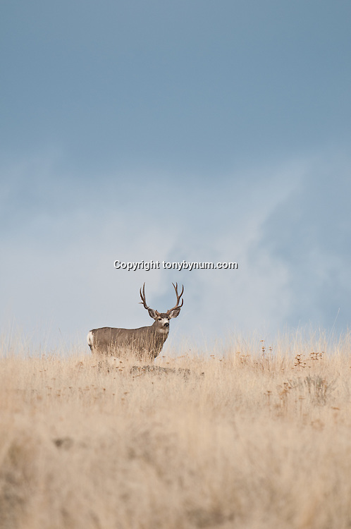 trophy mule deer buck blue open sky open country