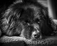 Black and white tight close up of black dog resting on bed with one eye open.