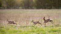 Roe deer, (Caprelous caprelous), Matsalu Bay Nature Reserve, Estonia