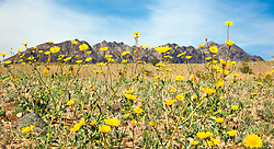 """Death Valley Wildflowers 3"" - Photograph of yellow wildflowers in Death Valley, near the Ibex Dunes area."