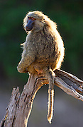 An Olive baboon sitting on a branch. Grumeti, Tanzania
