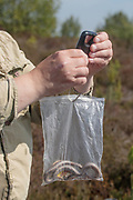 Smooth snake (Coronella austriaca) weighed under licence on reptile survey with Amphibian & Reptile Conservation (ARC). Surrey, UK.