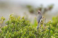 White-Backed Mousebird sunning on top of a bush, Namaqua National Park, Northern Cape, South Africa,