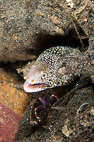 Snowflake Moray and Coral Banded Blue Boxer Shrimp<br /> shot in Indonesia