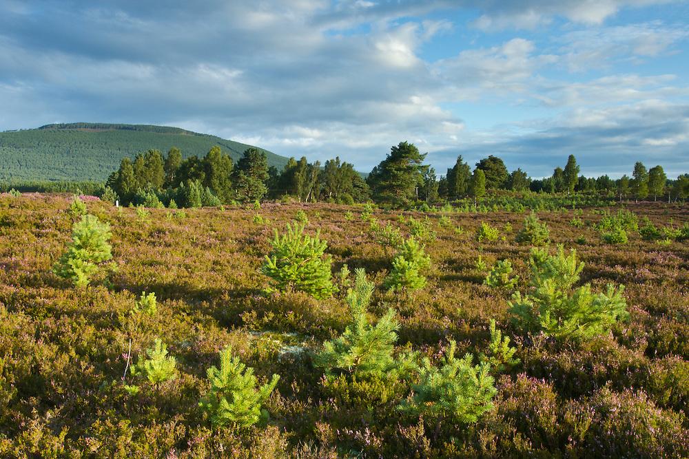 Young scot's pines (Pinus sylvestris) regeneration on moorland, Cairngorms National Park, Scotland, UK