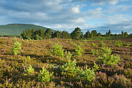 Young scot's pines (Pinus sylvestris) regeneration on moorland, Cairngorms National Park, Scotland, UK