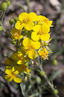 Bladderpod (Lesquerella fendleri) at Big Bend Ranch State Park. Texas