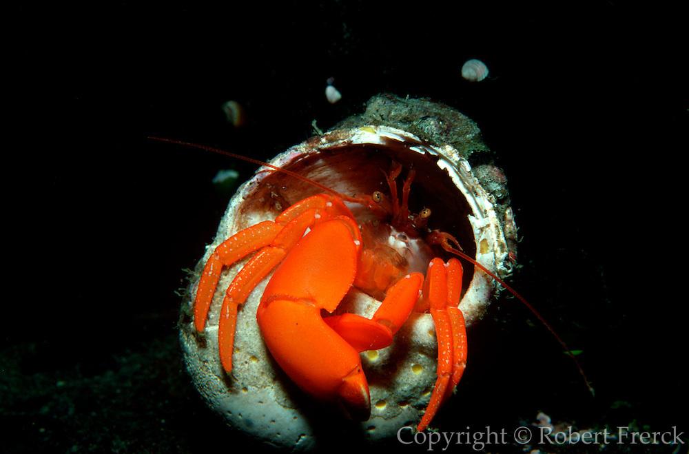 UNDERWATER MARINE LIFE EAST PACIFIC: Northeast CRABS: Hermit crab Elassochirus gilli