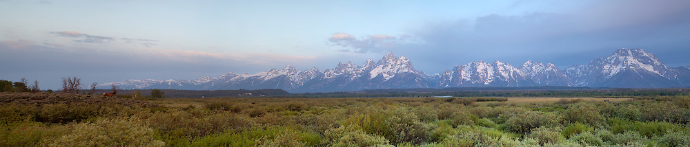 Large Pano of an Elk at sunrise in Grand Teton National Park