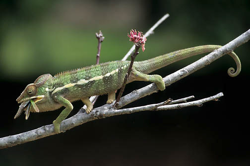 Chameleon (C. laterlis) feeding on an insect in Madagascar.