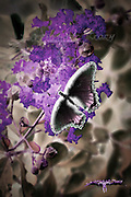 An artistic photograph of a butterfly on a crepe myrtle. Color manipulated, inverted with certain elements cut and pasted to give it a surreal, x-rayed kind of look.
