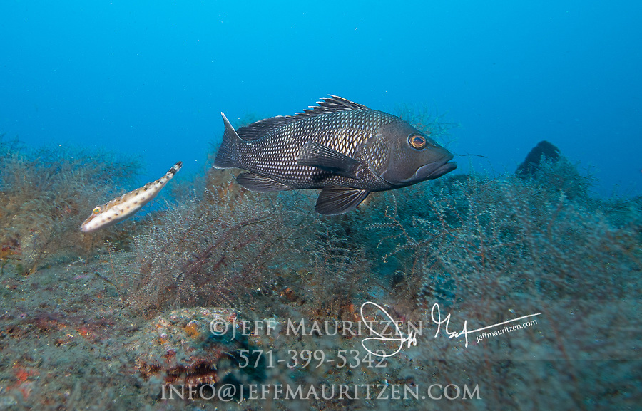 A Black sea bass swims over the German U-Boat known as the U-352.