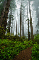 Hiking along the Damnation Creek trail in the Del Norte Coast Redwoods State Park as the fog rolls through the giant redwood trees.