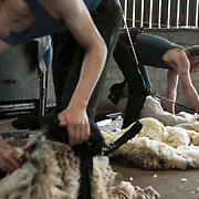 Sheep shearing in the Scottish Borders 2020
