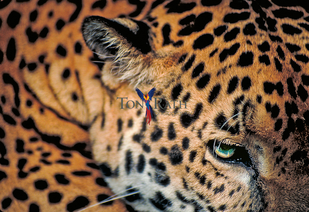 Closeup of jaguar, Panthera onca, Belize