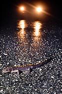 Santa Cruz long-toed salamander on road, Ambystoma macrodactylum croceum, Santa Cruz, California