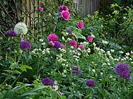 Allium 'Purple Sensation', Astrantia major and Rosa 'Gertrude Jekyll' in a London garden in May.  UK