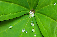 Water drops on Vanilla Leaf (Achlys triphylla)