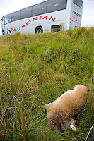 Red Deer killed by traffic on a major road in Glecoe, Scotland.