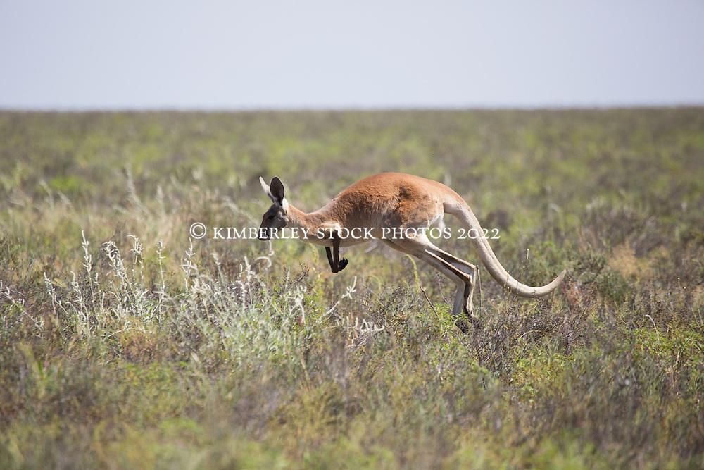 A red kangaroo (Macropus rufus) on Mandora Marsh south of Broome.