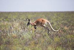 A red kangaroo (Macropus rufus) on Mandora Marsh south of Broome.
