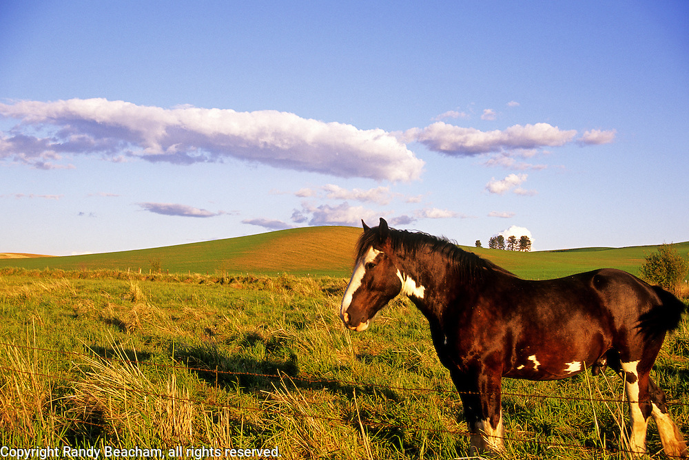 American paint horse and farmland in the palouse region. Near Tensed, Idaho.