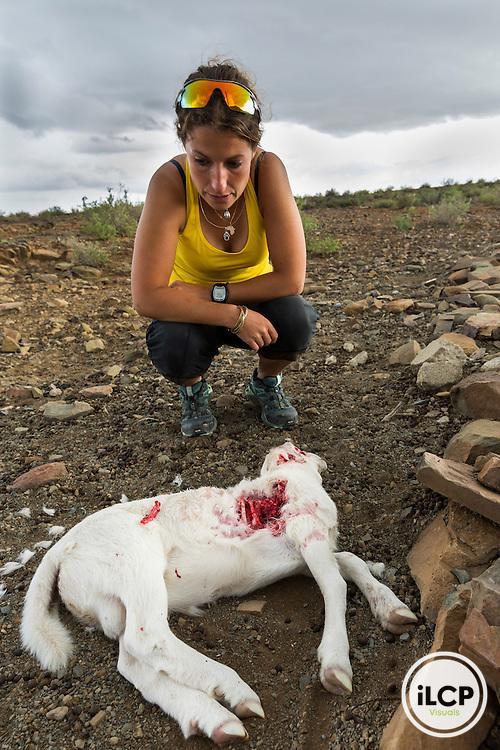 lors de l'une de ses rondes sur les centaines d'hectares d'une propri&eacute;t&eacute;, Marine Drouilly d&eacute;couvre la carcasse d&rsquo;un agneau fra&icirc;chement tu&eacute; par un chacal &agrave; chabraque au sein d&rsquo;une ferme.<br /> Western Cape, Karoo, South Africa / Koup, Antjieskraal farm, Scientist Marine Drouilly discovering a predated lamb (merinos) the previous night by Black-backed Jacal (Canis mesomelas) in the Antjieskraal farm of Piet Gouns