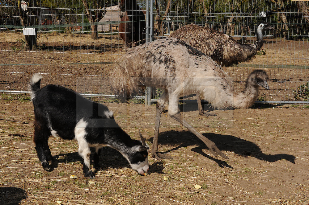 © Licensed to London News Pictures. 28/04/2015<br /> Moo the Emu (back) Zayla (front) with a goat.<br /> Second Chance Animal Rescue (SCAR) in Crockenhill,Kent have just taken delivery of two Emu's. Moo who is male and 3 years old and the smaller Emu Zayla an 8 month old female. both have been rescued from a private property in Dartford,Kent after SCAR received a call for help from the owner.<br /> Bromley Council have placed a 6 month eviction order on the animal rescue chairty to remove sheds and buildings that house rescued animals.<br /> (Byline:Grant Falvey/LNP)