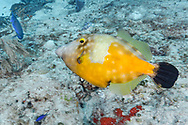 Whitespotted filefish-Poisson-lime à taches blanches (Cantherhines macroceros), Cozumel, Yucatan peninsula, Mexico.