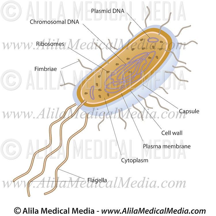 Bacteria Structure Alila Medical Images