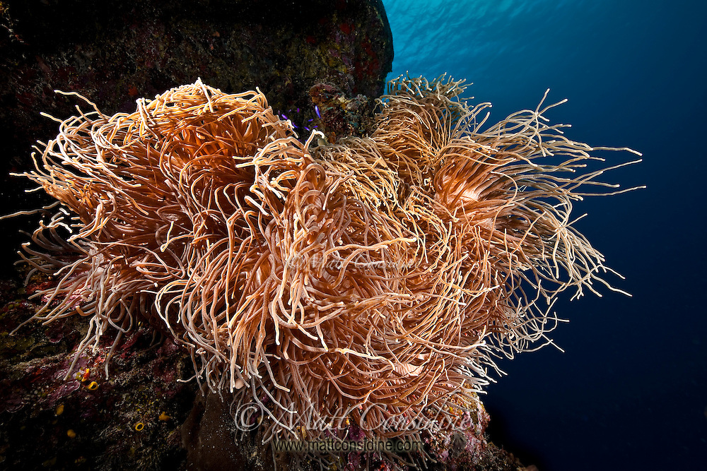 Large anemone look like hair waving and swirling in the current, Yap Micronesia (Photo by Matt Considine - Images of Asia Collection)