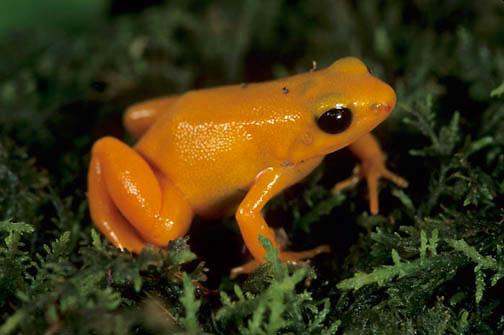 Golden Mantella, Frog (Mantella aurantiaca) Madagascar. Captive Animal.