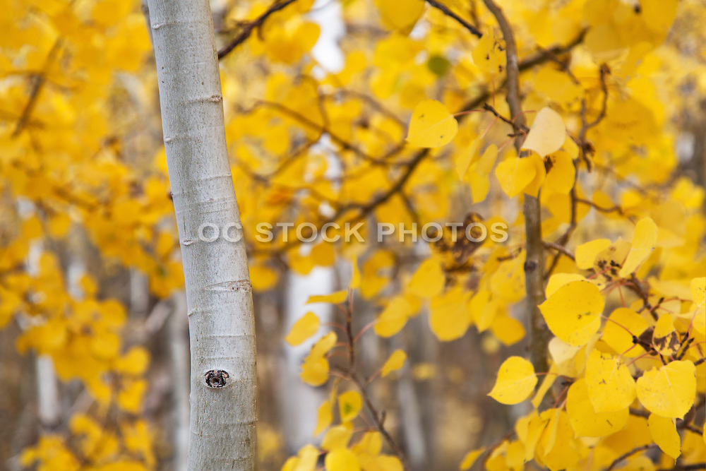 Aspen Trees in the High Sierra's of California