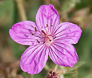 The sticky purple geranium (Geranium viscosissimum) is a perennial in the Geraniaceae family of flowering plants. Apikuni Falls trail, Glacier National Park, Montana, USA.