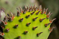 New Prickly Pear Pads, Gillespie County