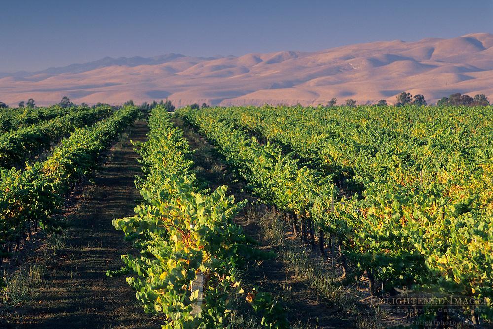 Vineyards in the Santa Maria Valley, San Luis Obispo County, CALIFORNIA