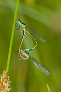 Rambur's Forktail (Ischnura ramburii) - pair in copula<br /> United States: Texas: Midland Co.<br /> Sibley Nature Preserve; Midland<br /> 12-Aug-2017<br /> J.C. Abbott #2975