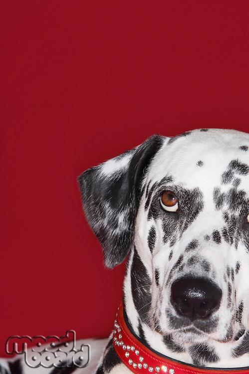 Dalmatian looking up close-up