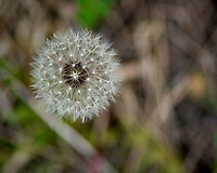 Dandelion in Rocky Mountain National Park. Image taken with a Nikon D2xs camera and 105 mm f/2.8 VR macro lens.
