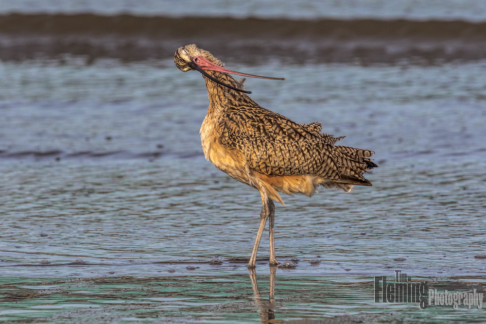 Long-billed curlew, in breeding plumage, preening it's feathers in the Elkhorn Slough Reserve.